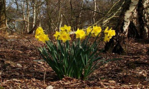 Zdjęcie ANGLIA / Nothingamshire / Sheroowd / wiosenny - lesny bukiet