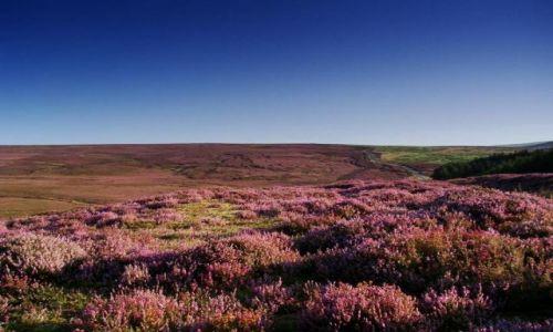 Zdjecie ANGLIA / North Yorkshire / North York Moors / wrzosowe wzgorz