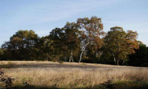 Zdjecie ANGLIA / Nothingamshire / Sherwood Forest / angielskie brzozy (Sherwood Forest )