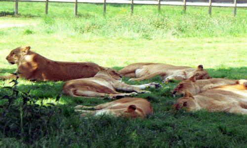 Zdjecie ANGLIA / Milton Keynes / Safari Park / Dzikie kotki:-)