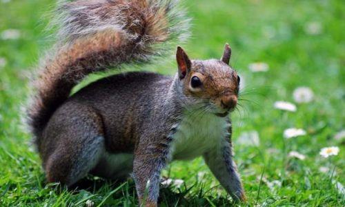 Zdjęcie ANGLIA / - / Londyn / angielska wiewióra