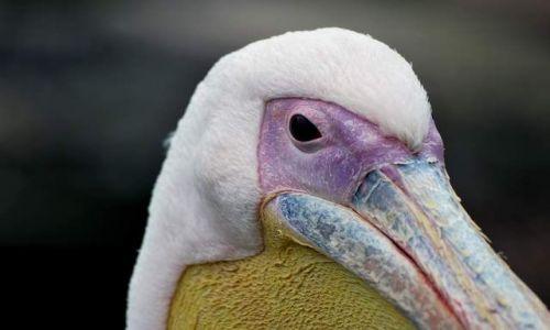 Zdjecie ANGLIA / - / Londyn / pelikan