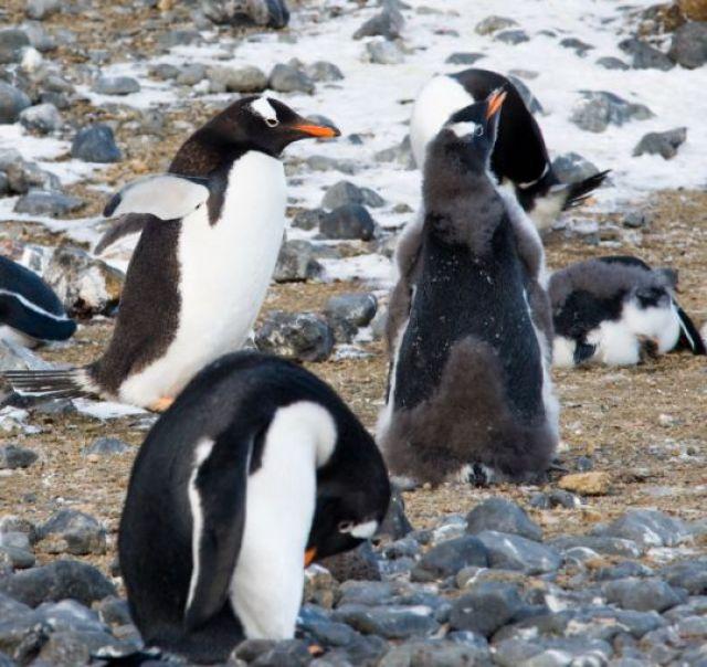 Zdjęcia: Brown Bluff, Półwysep Antarktyczny, Pingwiny białobrewe na Brown Bluff, ANTARKTYDA