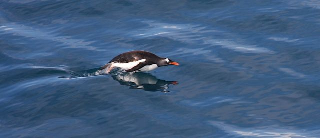 Zdjęcia: antarktyda, Antarktyda, pingwin, ANTARKTYDA