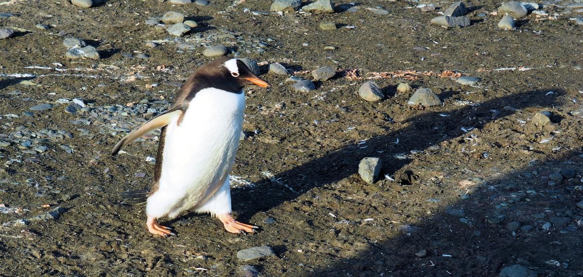 Zdjęcia: Antarktyda, Antarctic Peninsula, Śpieszę do roboty, ANTARKTYDA