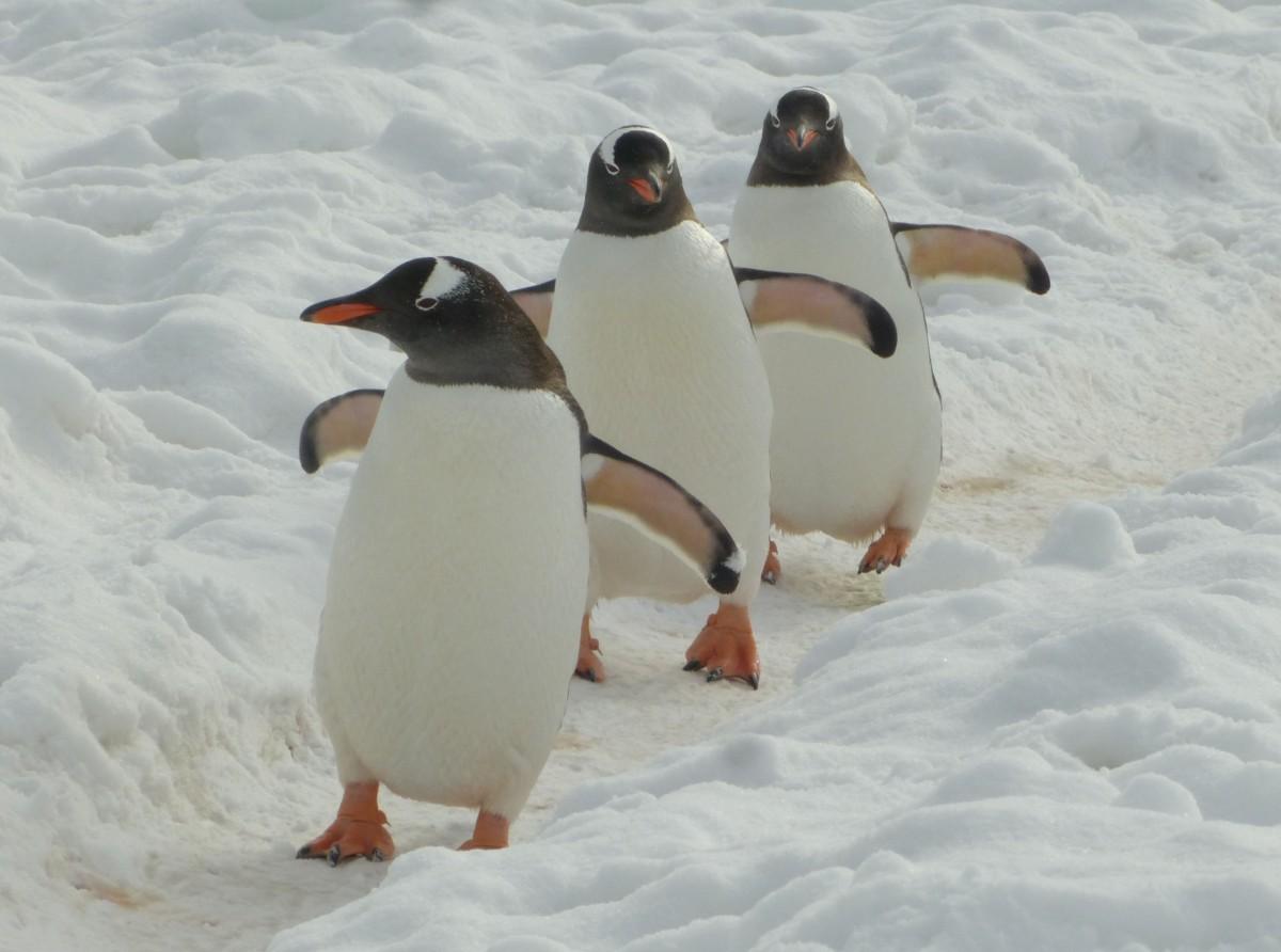 Zdjęcia: Cuverville Island, Antarktyda, Pingwinia ścieżka, ANTARKTYDA