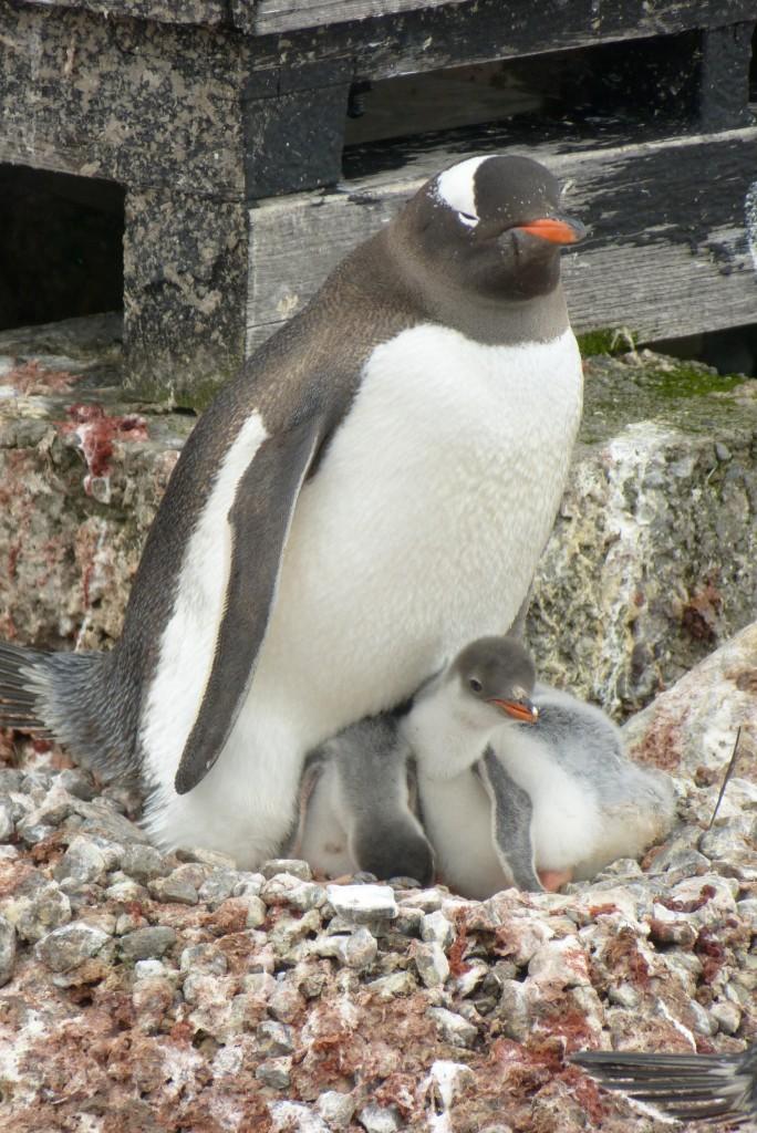 Zdjęcia: Port Lockroy, Antarktyda, Pingwiniątka, ANTARKTYDA