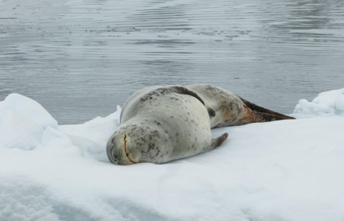 Zdjęcia: Paradise Bay, Antarktyda, Lampart morski, ANTARKTYDA