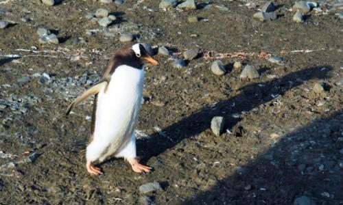 Zdjęcie ANTARKTYDA / Antarctic Peninsula / Antarktyda / Śpieszę do roboty