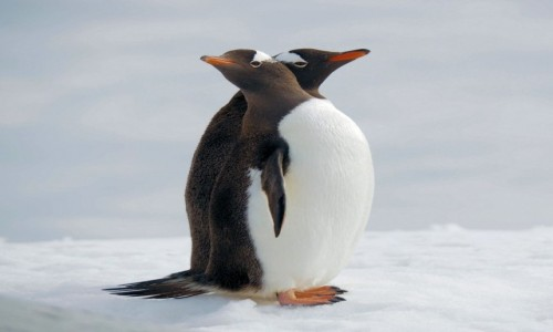 Zdjęcie ANTARKTYDA / Antarctic Peninsula / Antarktyda / Przyjaciele
