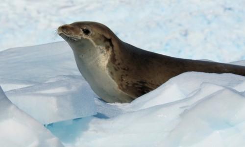 Zdjęcie ANTARKTYDA / Antarctic Peninsula / Antarktyda / CIEKWAOŚĆ