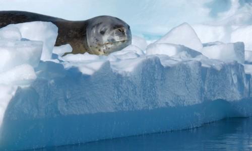 Zdjęcie ANTARKTYDA / Antarctic Peninsula / Antarktyda / FOCZE SPOJRZENIE