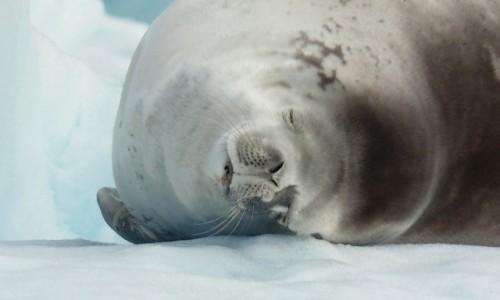 Zdjęcie ANTARKTYDA / Antarctic Peninsula / Antarktyda / NIECH CI SIĘ PRZYŚNI RYBA