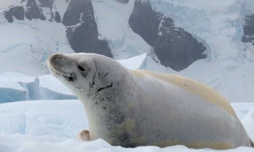 Zdjecie ANTARKTYDA / Antarctic Peninsula / Antarktyda / FOCZY UŚMIECH?