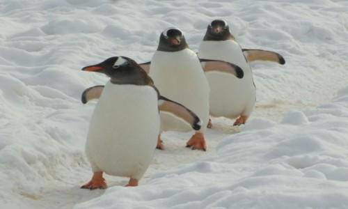 Zdjęcie ANTARKTYDA / Antarktyda / Cuverville Island / Pingwinia ścieżka