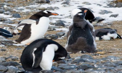 Zdjecie ANTARKTYDA / Półwysep Antarktyczny / Brown Bluff / Pingwiny białobrewe na Brown Bluff