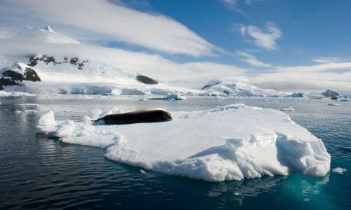 Zdjęcie ANTARKTYDA / Półwysep Antarktyczny / Paradise Harbour / Lampart morski odpoczywający na growlerze w Paradise Harbour