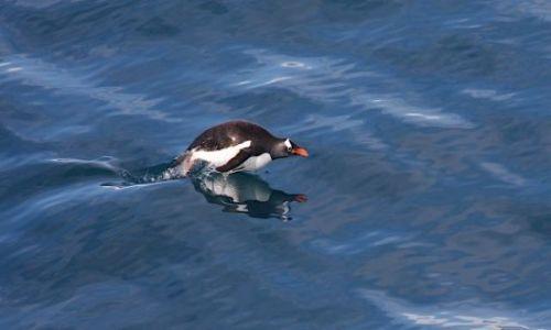 Zdjęcie ANTARKTYDA / Antarktyda / antarktyda / pingwin