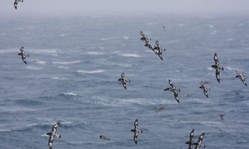 Zdjęcie ANTARKTYDA / Antarktyda / antarktyda / cape petrel