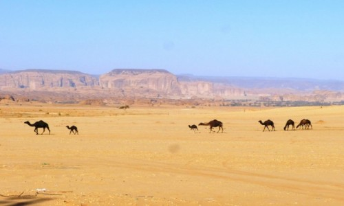 Zdjecie ARABIA SAUDYJSKA / Al Ula / Al-Hijr / Pastwisko