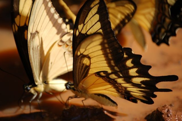 Zdj�cia: Foz de Iguazu, Wodospady Iguazu strona argentynska, Motyle, ARGENTYNA