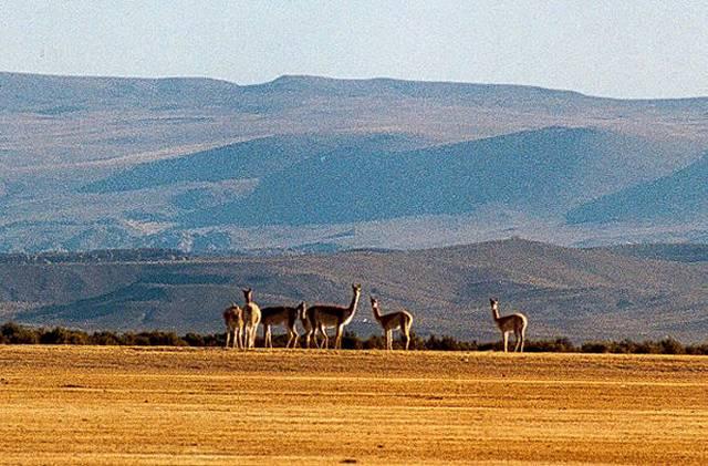 Zdjęcia: niezwykle plochliwe wikunie - kiedys swiete zwierzeta Inkòw, Puna czyli Altiplano, Magiczna Puna, ARGENTYNA