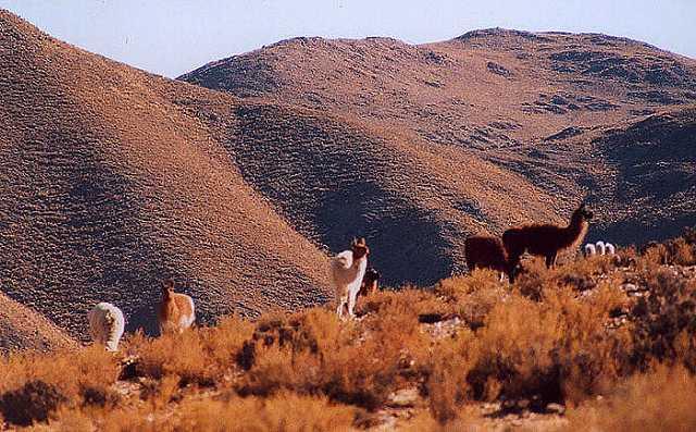 Zdjęcia:  lamy na pastwisku, prawie 4000 mnpm, Puna czyli Altiplano, Magiczna Puna, ARGENTYNA