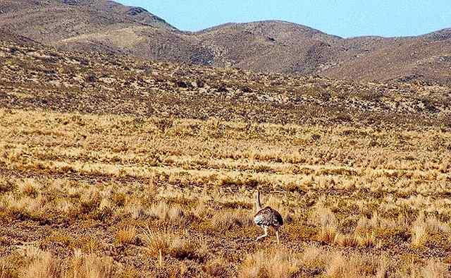 """Zdjęcia: spotk. po drodze:  wysokogorski strus, krewniak nandu w keczua zwany """"suri"""", Puna czyli Altiplano, Magiczna Puna, ARGENTYNA"""