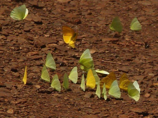 Zdjęcia: Foz do Iguazu (Argentyna), Foz do Iguazu, Motylki, ARGENTYNA
