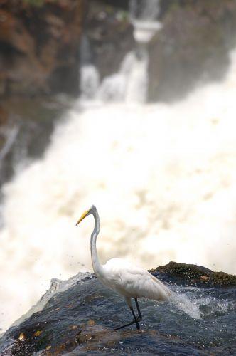 Zdjęcia: Foz de Iguazu, Czapla na krawędzi, ARGENTYNA