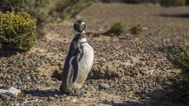 Zdjęcia: Punta Tombo, Peninsula Valdes, Pingwin nie z Madagaskaru, ARGENTYNA