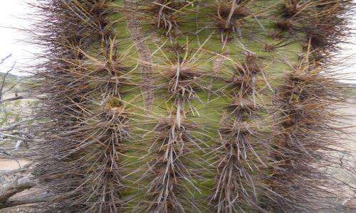 Zdjecie ARGENTYNA / La Rioja / Park Narodowy Talampaya / Może nie ostry, ale kolczasty na pewno