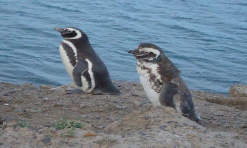 Zdjęcie ARGENTYNA / Chubut / Rezerwat Peninsula Valdes / Pingwiny, ale nie z Madagaskaru