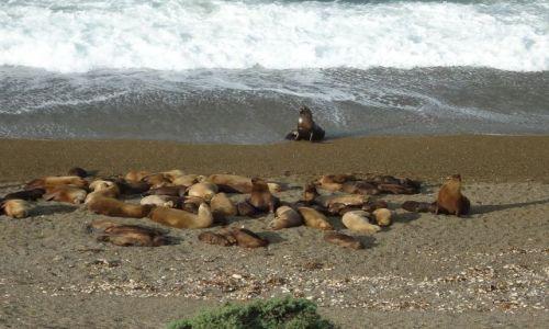 Zdjęcie ARGENTYNA / Chubut / Półwysep Valdes / Stado lwów morskich