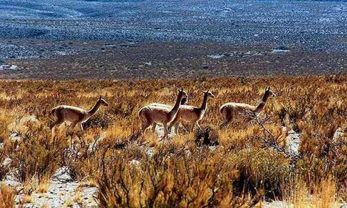 Zdjęcie ARGENTYNA / Puna czyli Altiplano / spotkanie po drodze / Magiczna Puna
