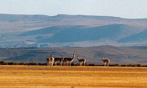 Zdjęcie ARGENTYNA / Puna czyli Altiplano / niezwykle plochliwe wikunie - kiedys swiete zwierzeta Inkòw / Magiczna Puna