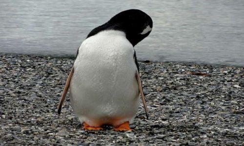 Zdjecie ARGENTYNA / Patagonia / Ushuaia / Pingwin