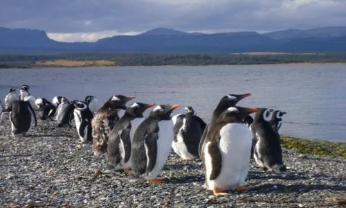 Zdjecie ARGENTYNA / Ushuaia / Isla de Martillo / słodkie pingwin
