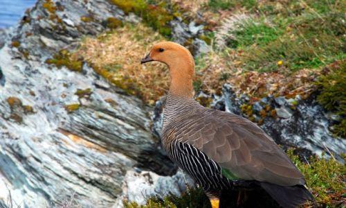 Zdjecie ARGENTYNA / Tierra del Fuego  / Ushuaia / kaczka w kolorze braz