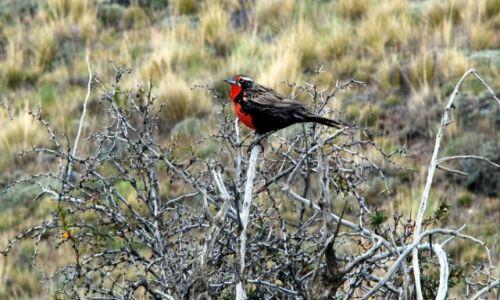 ARGENTYNA / Patagonia  / El Chanten  / wroblowaty