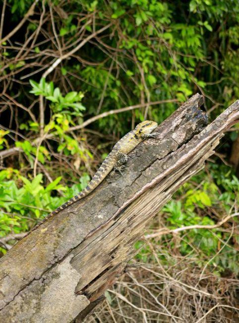 Zdjęcia: Daintree National Park , Queensland, Jaszczurka wodna, AUSTRALIA