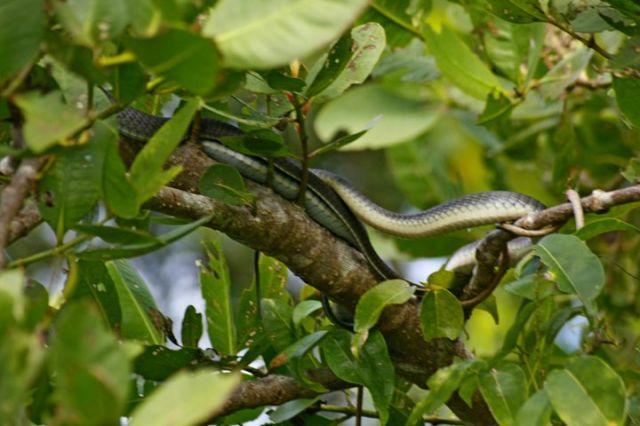 Zdjęcia: Daintree National Park, Queensland, Waz drzewny, AUSTRALIA