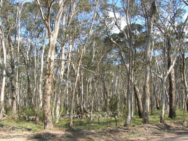 Zdjęcia: Kanangra Rocks, Blue Mountains, Gesty, suchy las w okolicach skal, AUSTRALIA