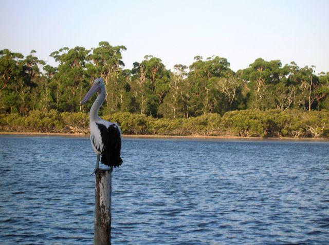 Zdjęcia: Susex Inlet, NSW, Wypatruje rybe.., AUSTRALIA