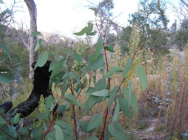 Zdjęcia: Okolice Canberry, ACT, W lesie, eukaliptusy.., AUSTRALIA