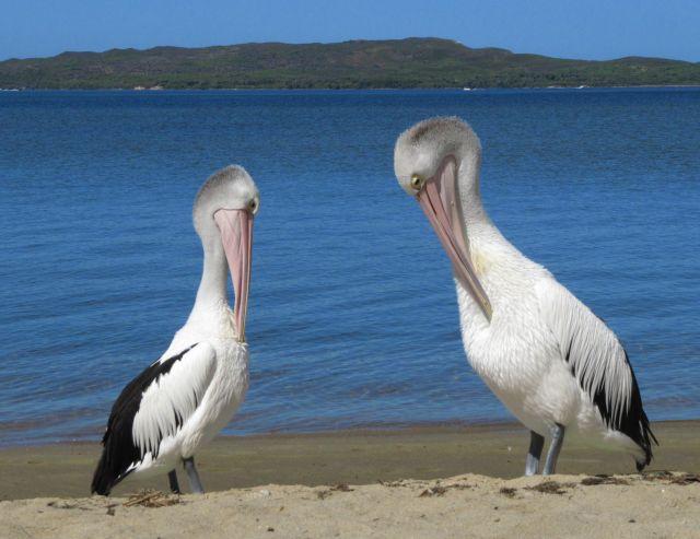 Zdjęcia: nad jeziorem, Walpole, pelikany, AUSTRALIA