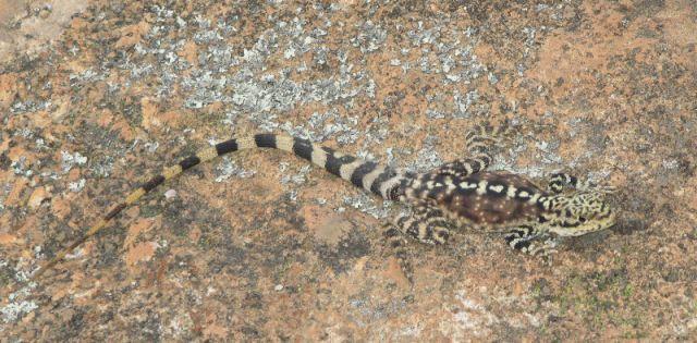 Zdjęcia: Hyden, Hyden, jaszczurka, AUSTRALIA