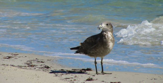Zdjęcia: plaża, Busshelton, Ptaki Australii, AUSTRALIA
