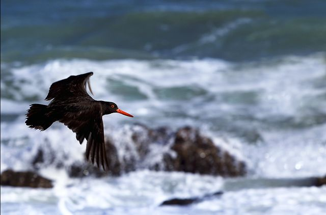 Zdjęcia: Port Elliot, South Australia, ostrygojad australijski, AUSTRALIA