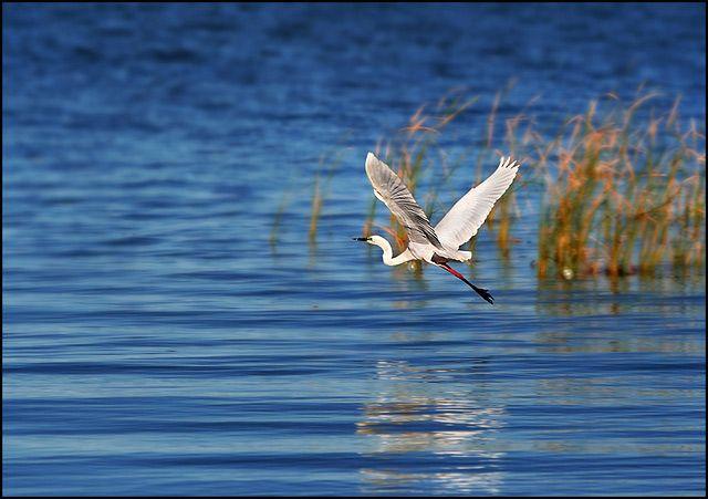 Zdjęcia: Goolwa, South Australia, czapla biala , AUSTRALIA